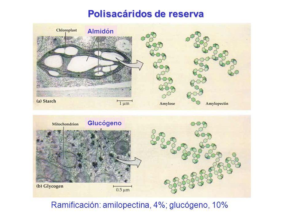 Polisacáridos de reserva Almidón Glucógeno Ramificación: amilopectina, 4%; glucógeno, 10%
