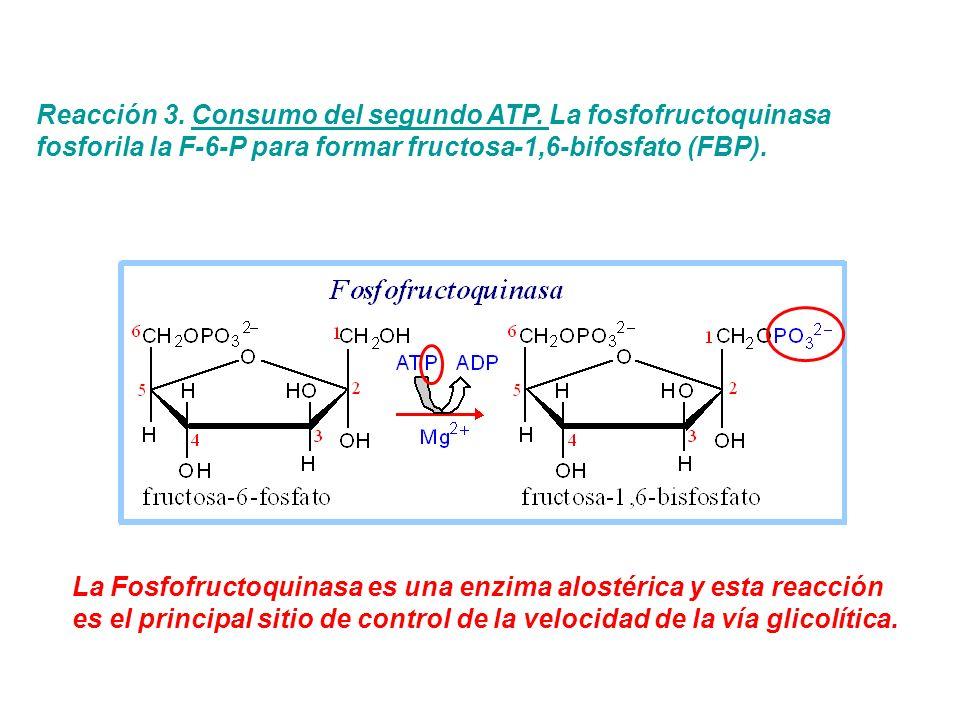 Reacción 3. Consumo del segundo ATP. La fosfofructoquinasa fosforila la F-6-P para formar fructosa-1,6-bifosfato (FBP). La Fosfofructoquinasa es una e