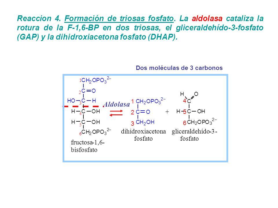 Reaccion 4. Formación de triosas fosfato. La aldolasa cataliza la rotura de la F-1,6-BP en dos triosas, el gliceraldehído-3-fosfato (GAP) y la dihidro