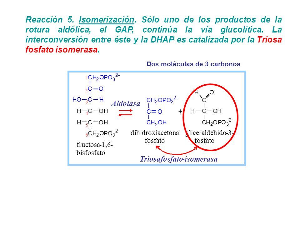 Reacción 5. Isomerización. Sólo uno de los productos de la rotura aldólica, el GAP, continúa la vía glucolítica. La interconversión entre éste y la DH