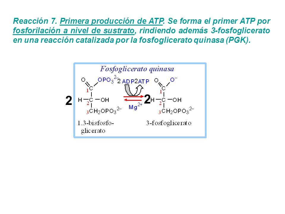 Reacción 7. Primera producción de ATP. Se forma el primer ATP por fosforilación a nivel de sustrato, rindiendo además 3-fosfoglicerato en una reacción