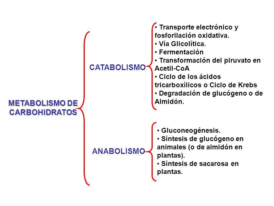 METABOLISMO DE CARBOHIDRATOS Transporte electrónico y fosforilación oxidativa. Vía Glicolítica. Fermentación Transformación del piruvato en Acetil-CoA