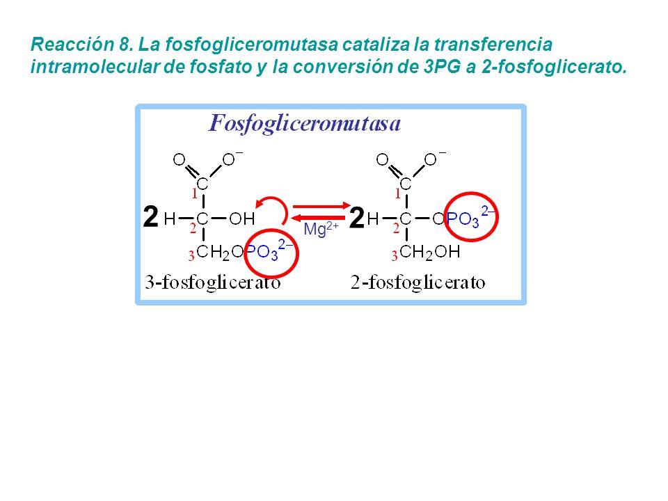 Reacción 8. La fosfogliceromutasa cataliza la transferencia intramolecular de fosfato y la conversión de 3PG a 2-fosfoglicerato. 2 2 Mg 2+