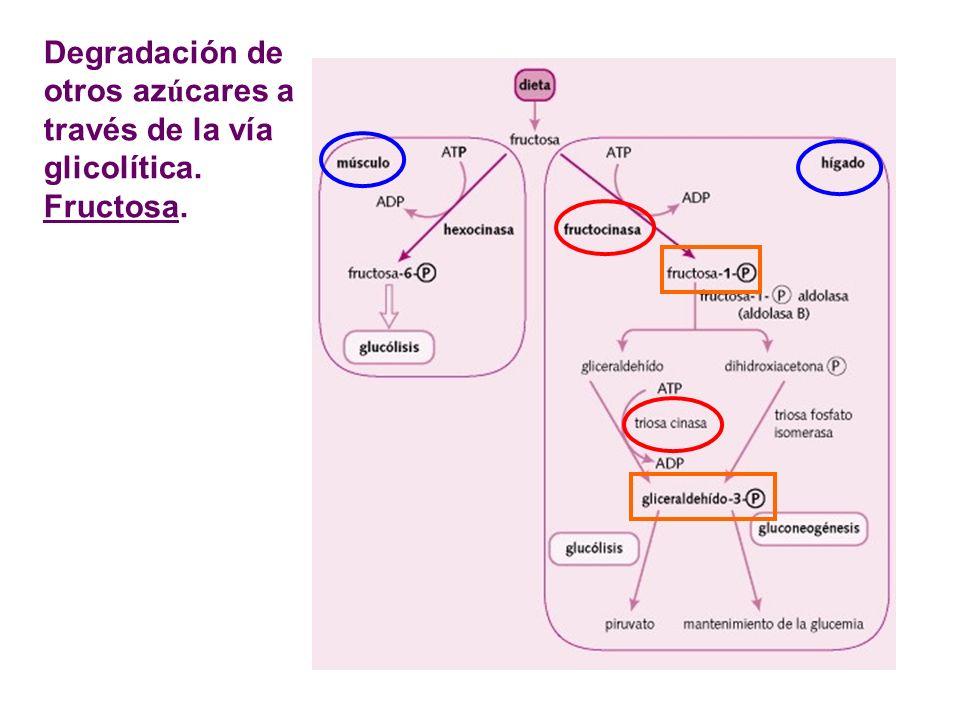 Degradación de otros az ú cares a través de la vía glicolítica. Fructosa.