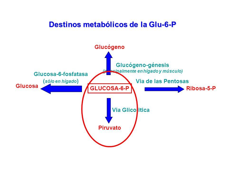 GLUCOSA-6-P Destinos metabólicos de la Glu-6-P Glucógeno-génesis (principalmente en hígado y músculo) Glucógeno Via de las Pentosas Ribosa-5-P Piruvat