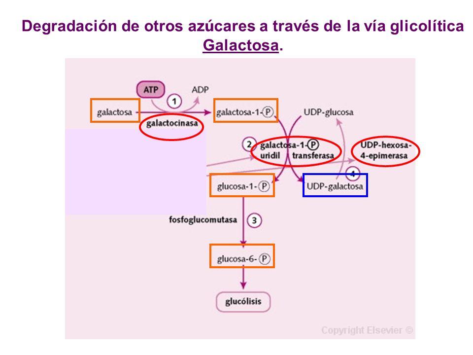 Degradación de otros az ú cares a través de la vía glicolítica Galactosa.