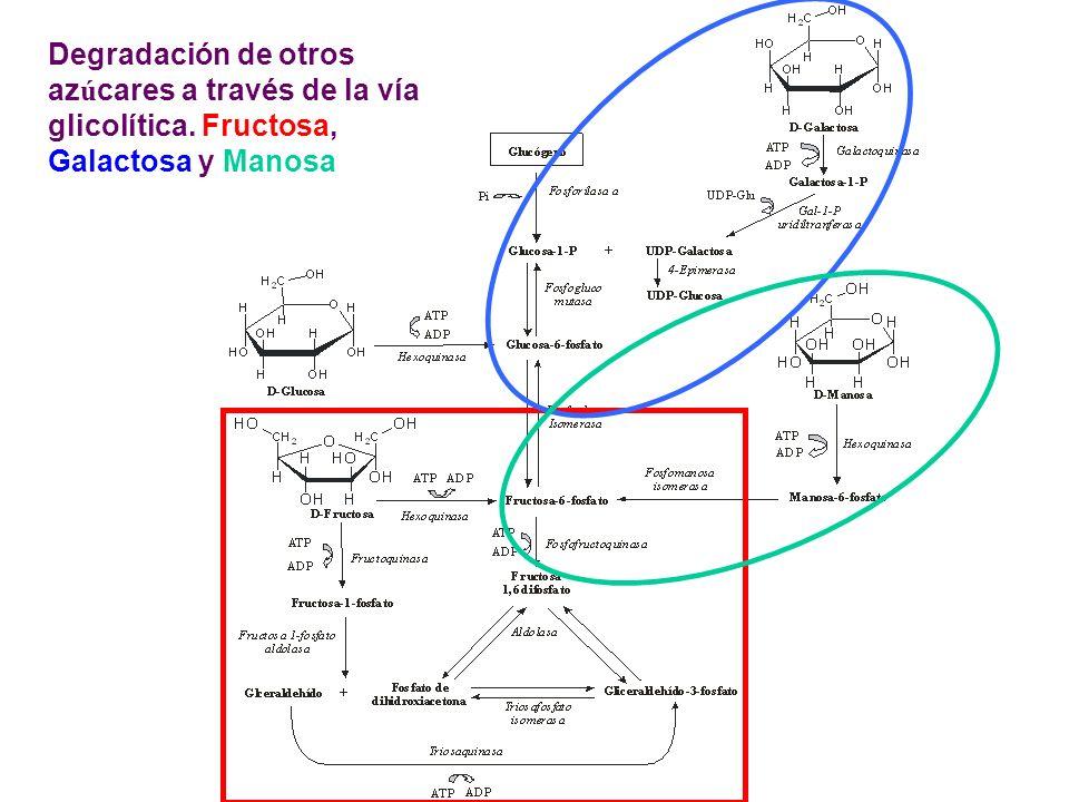 Degradación de otros az ú cares a través de la vía glicolítica. Fructosa, Galactosa y Manosa