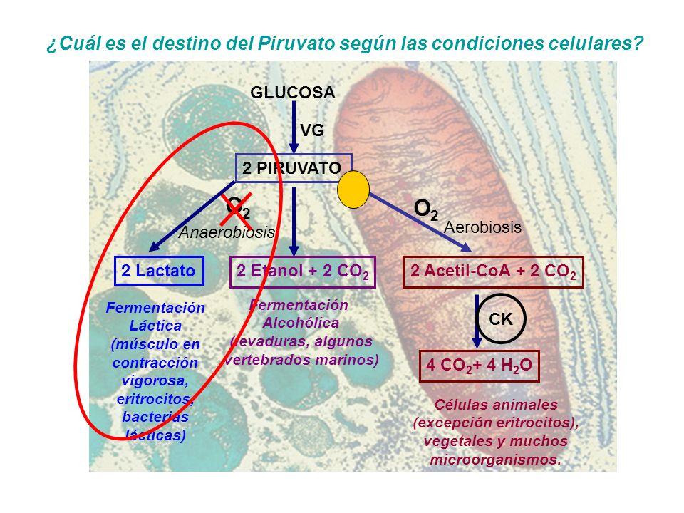GLUCOSA 2 PIRUVATO VG Aerobiosis O2O2 Anaerobiosis O2O2 Fermentación Alcohólica (levaduras, algunos vertebrados marinos) Fermentación Láctica (músculo