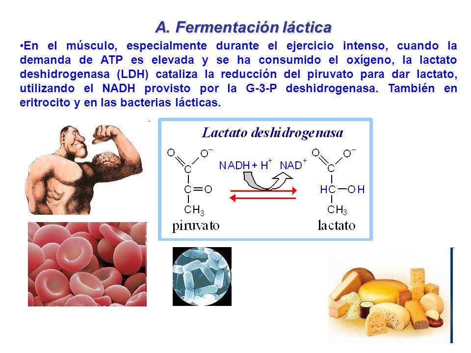 A. Fermentación láctica En el músculo, especialmente durante el ejercicio intenso, cuando la demanda de ATP es elevada y se ha consumido el oxígeno, l