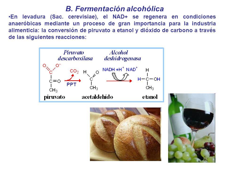 B. Fermentación alcohólica En levadura (Sac. cerevisiae), el NAD+ se regenera en condiciones anaeróbicas mediante un proceso de gran importancia para