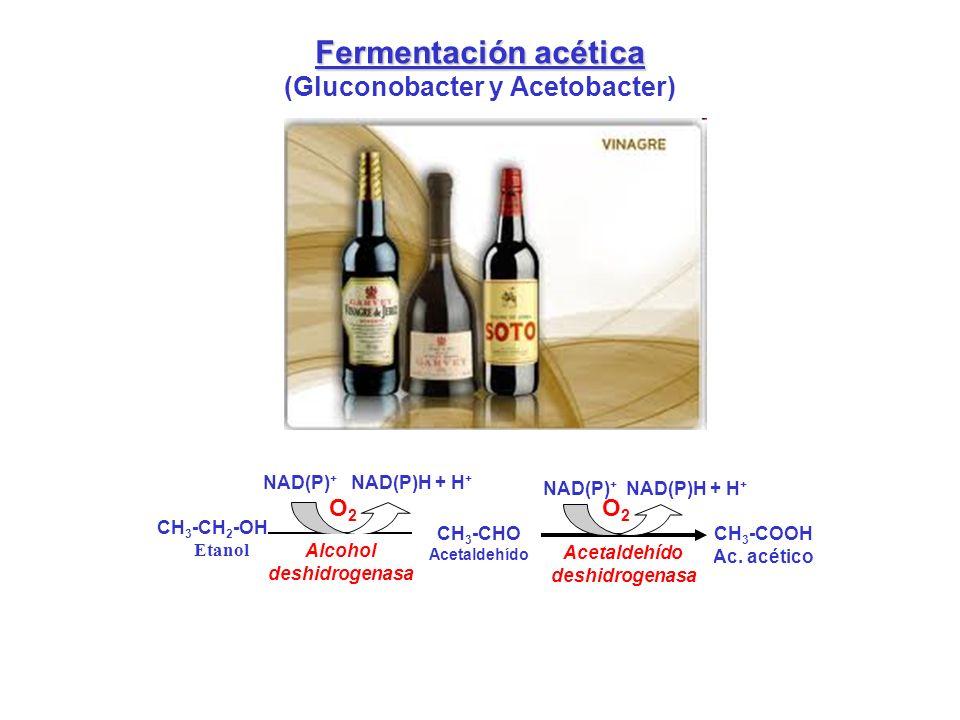 Fermentación acética (Gluconobacter y Acetobacter) CH 3 -CH 2 -OH Etanol NAD(P) + NAD(P)H + H + Alcohol deshidrogenasa CH 3 -CHO Acetaldehído O2O2 NAD
