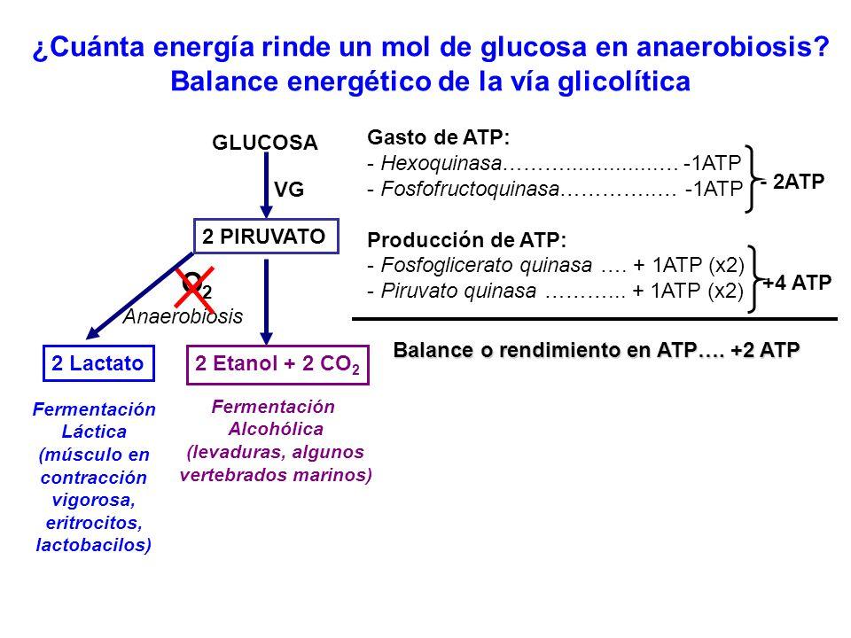 ¿Cuánta energía rinde un mol de glucosa en anaerobiosis? Balance energético de la vía glicolítica GLUCOSA 2 PIRUVATO VG Anaerobiosis O2O2 Fermentación