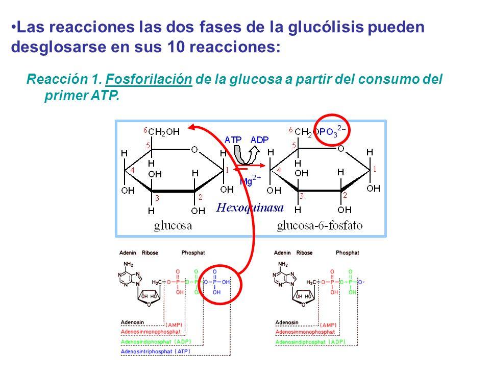 Las reacciones las dos fases de la glucólisis pueden desglosarse en sus 10 reacciones: Reacción 1. Fosforilación de la glucosa a partir del consumo de