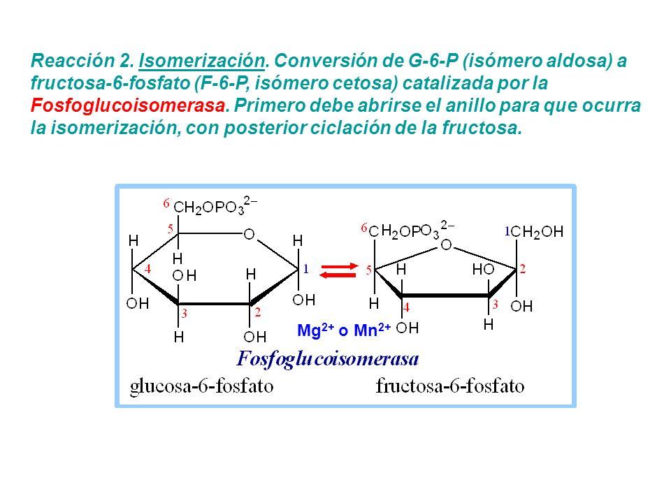 Reacción 2. Isomerización. Conversión de G-6-P (isómero aldosa) a fructosa-6-fosfato (F-6-P, isómero cetosa) catalizada por la Fosfoglucoisomerasa. Pr