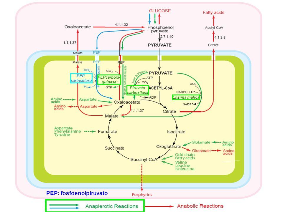 Piruvato carboxilasa Enzima málica PEP carboxilasa PEP: fosfoenolpiruvato PEPcarboxi- quinasa