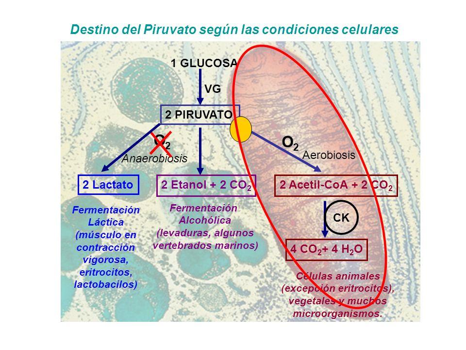 1 GLUCOSA 2 PIRUVATO VG Aerobiosis O2O2 Anaerobiosis O2O2 Fermentación Alcohólica (levaduras, algunos vertebrados marinos) Fermentación Láctica (múscu