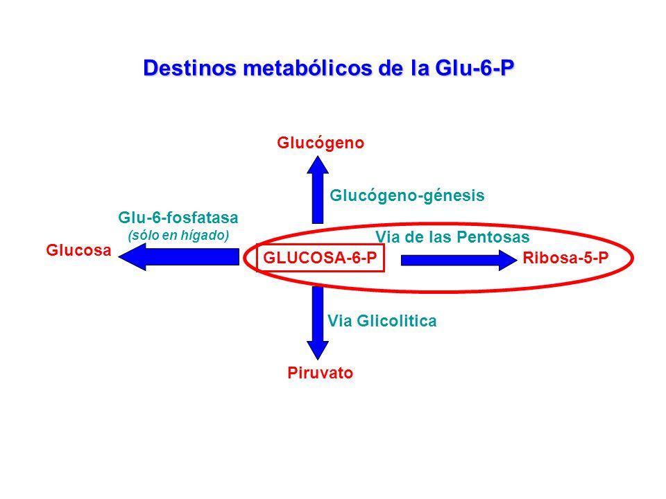 GLUCOSA-6-P Destinos metabólicos de la Glu-6-P Glucógeno-génesis Glucógeno Via de las Pentosas Ribosa-5-P Piruvato Via Glicolitica Glucosa Glu-6-fosfa