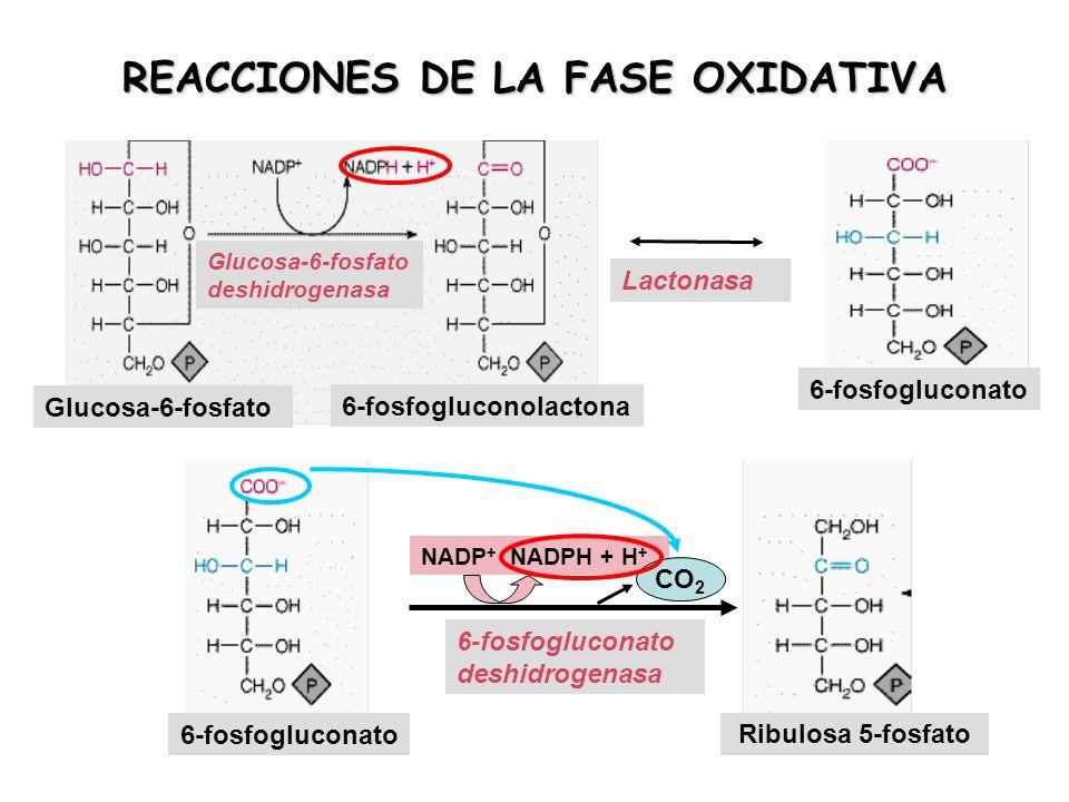 REACCIONES DE LA FASE OXIDATIVA 6-fosfogluconato NADP + NADPH + H + CO 2 6-fosfogluconato deshidrogenasa Ribulosa 5-fosfato 6-fosfogluconato Lactonasa