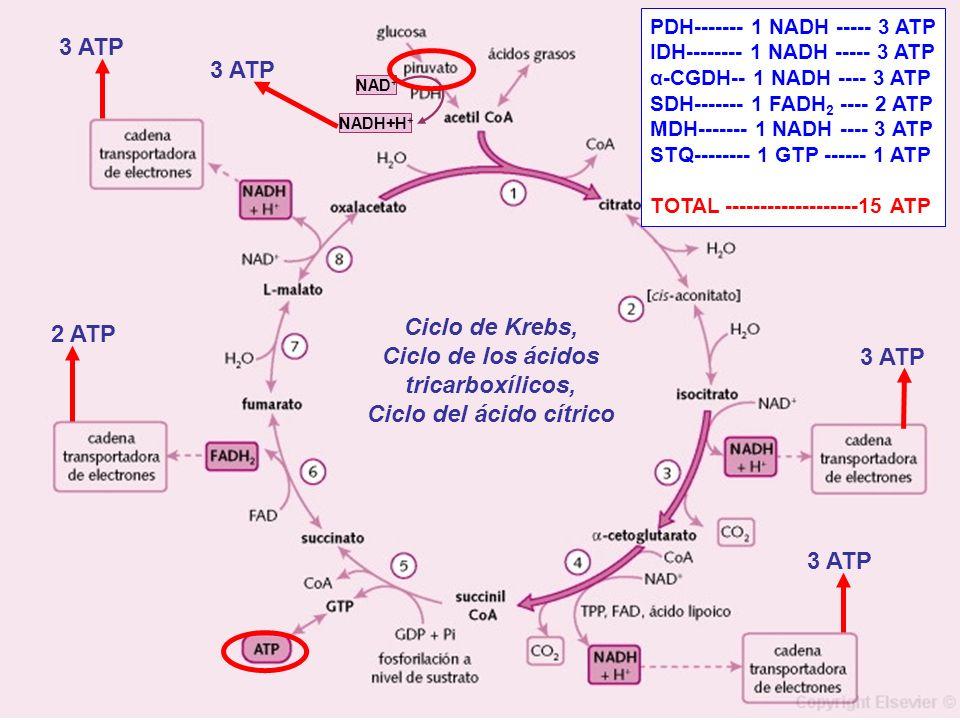 NAD + NADH+H + Ciclo de Krebs, Ciclo de los ácidos tricarboxílicos, Ciclo del ácido cítrico 3 ATP 2 ATP 3 ATP PDH------- 1 NADH ----- 3 ATP IDH-------