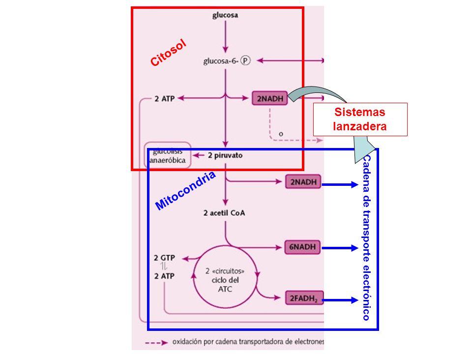 Citosol Mitocondria Cadena de transporte electrónico Sistemas lanzadera