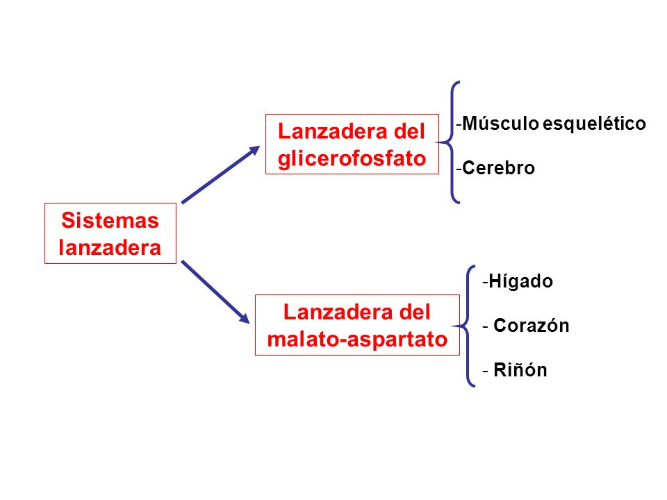 Lanzadera del glicerofosfato Lanzadera del malato-aspartato -Músculo esquelético -Cerebro -Hígado - Corazón - Riñón