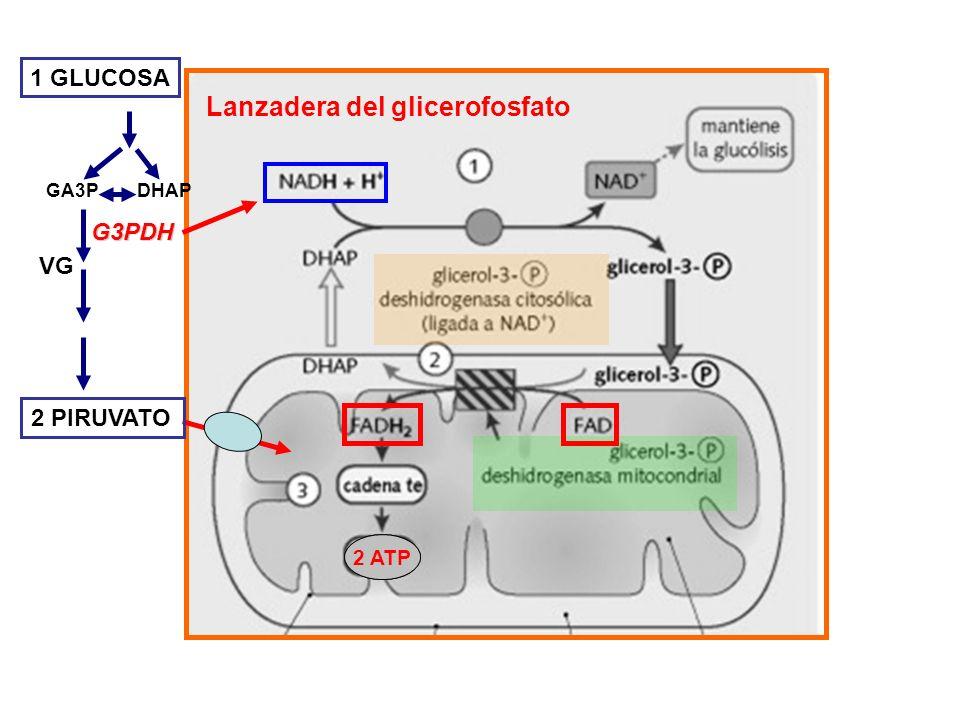 GLUCONEOGENESIS -Es una vía por la cual se puede sintetizar glucosa y glucógeno a partir de precursores no glucídicos: - Glicerol (proveniente de la degradación de ácidos grasos).