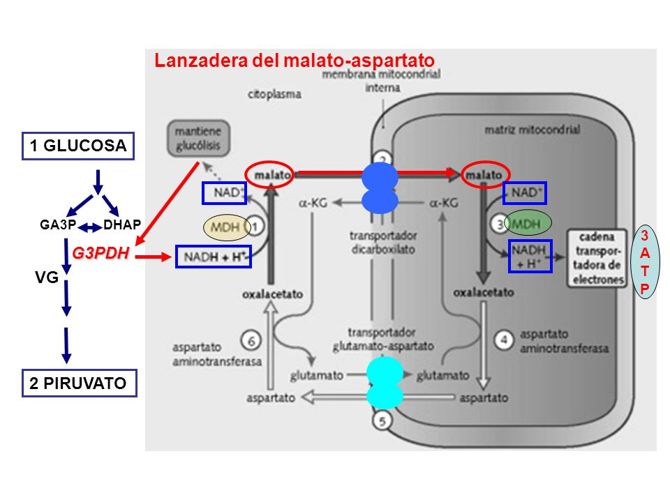 Lanzadera del malato-aspartato 1 GLUCOSA 2 PIRUVATO VG G3PDH DHAPGA3P 3ATP3ATP