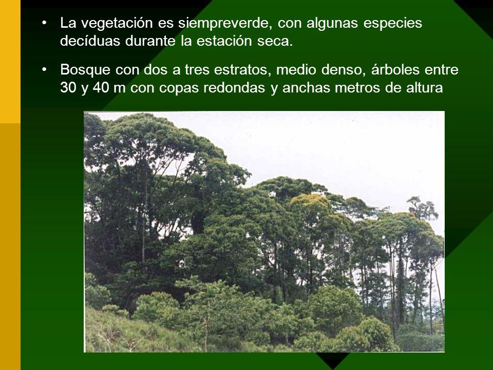 La vegetación es siempreverde, con algunas especies decíduas durante la estación seca. Bosque con dos a tres estratos, medio denso, árboles entre 30 y
