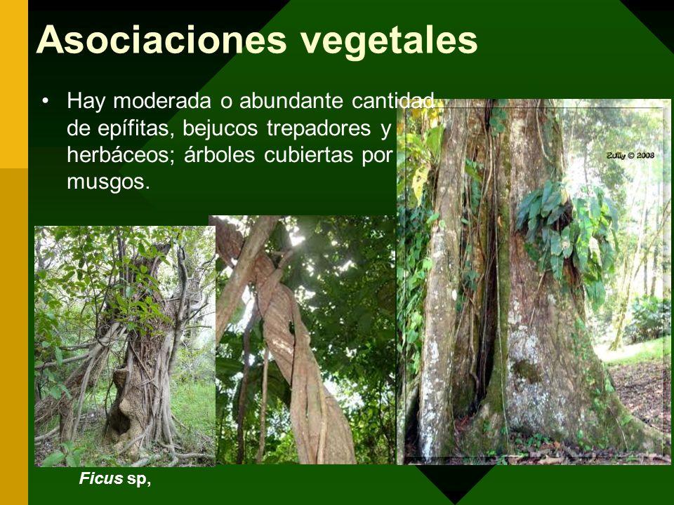 Asociaciones vegetales Hay moderada o abundante cantidad de epífitas, bejucos trepadores y herbáceos; árboles cubiertas por musgos. Ficus sp,