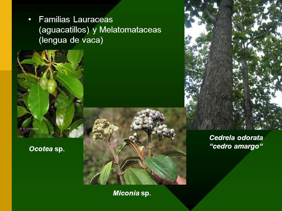 Familias Lauraceas (aguacatillos) y Melatomataceas (lengua de vaca) Cedrela odorata cedro amargo Ocotea sp. Miconia sp.
