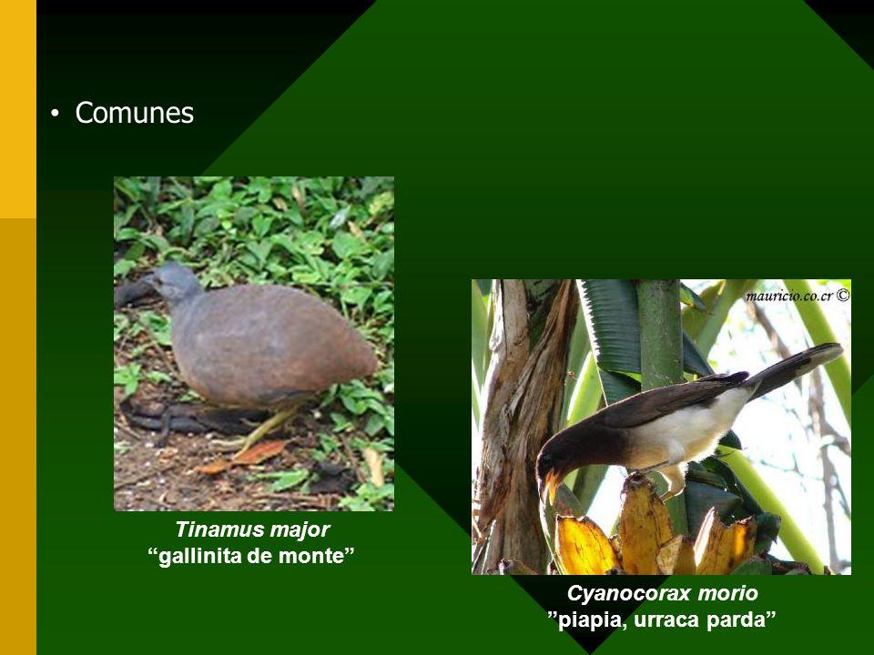 Comunes Tinamus major gallinita de monte Cyanocorax morio piapia, urraca parda