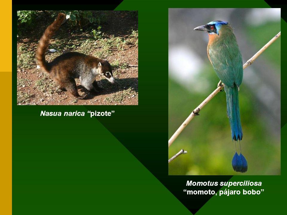 Nasua narica pizote Momotus superciliosa momoto, pájaro bobo