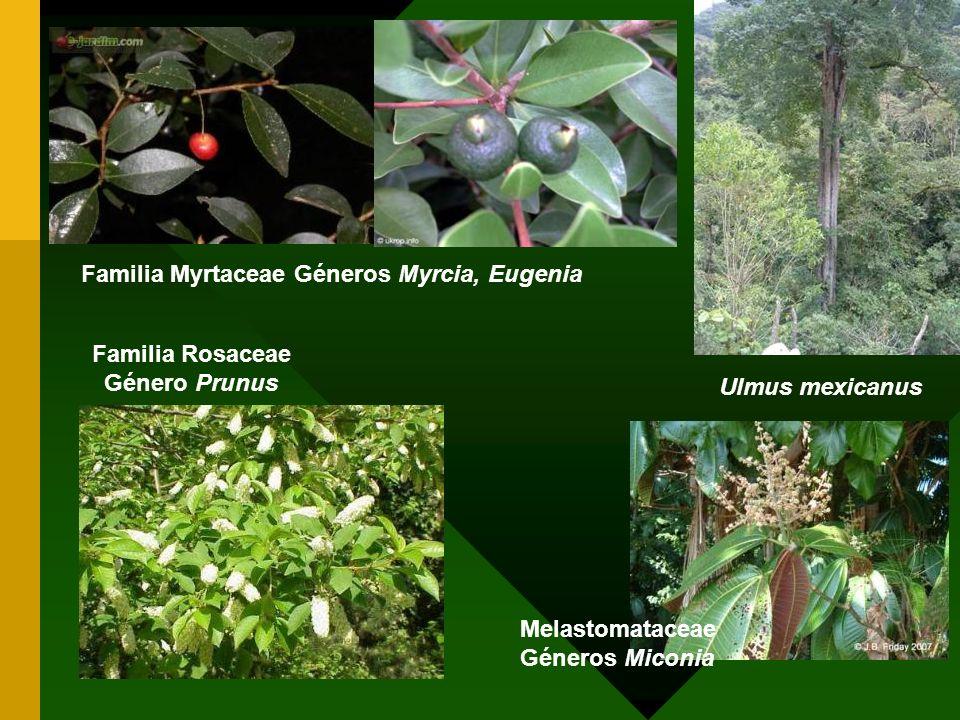 Ulmus mexicanus Familia Rosaceae Género Prunus Familia Myrtaceae Géneros Myrcia, Eugenia Melastomataceae Géneros Miconia