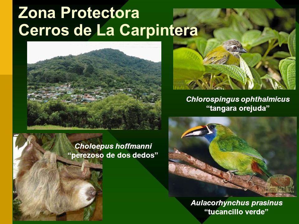 Zona Protectora Cerros de La Carpintera Chlorospingus ophthalmicus tangara orejuda Aulacorhynchus prasinus tucancillo verde Choloepus hoffmanni perezo