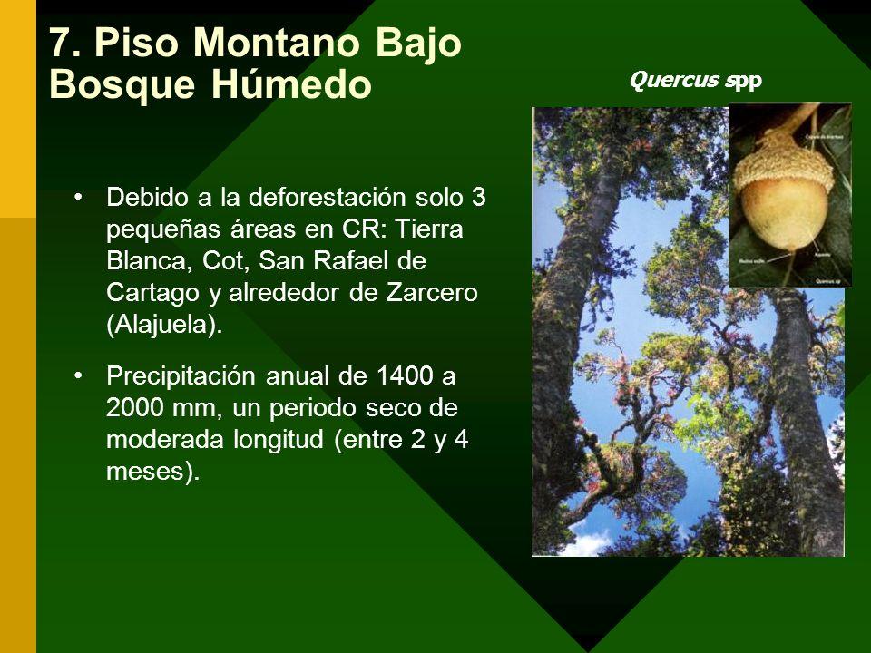Quercus spp 7. Piso Montano Bajo Bosque Húmedo Debido a la deforestación solo 3 pequeñas áreas en CR: Tierra Blanca, Cot, San Rafael de Cartago y alre