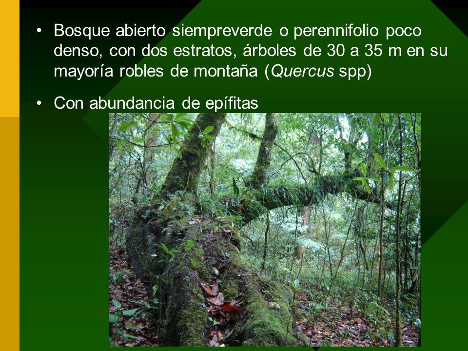 Bosque abierto siempreverde o perennifolio poco denso, con dos estratos, árboles de 30 a 35 m en su mayoría robles de montaña (Quercus spp) Con abunda