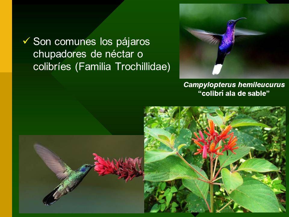 Son comunes los pájaros chupadores de néctar o colibríes (Familia Trochillidae) Campylopterus hemileucurus colibrí ala de sable