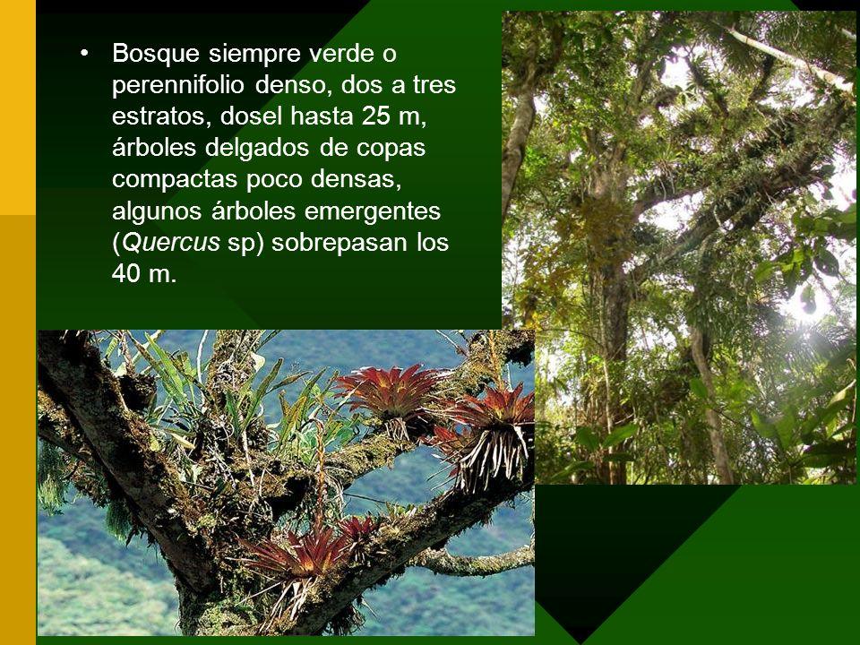 Bosque siempre verde o perennifolio denso, dos a tres estratos, dosel hasta 25 m, árboles delgados de copas compactas poco densas, algunos árboles eme