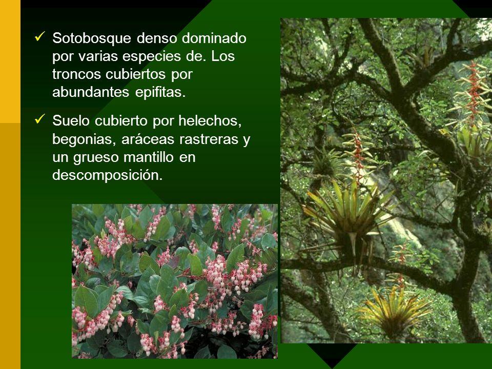 Sotobosque denso dominado por varias especies de. Los troncos cubiertos por abundantes epifitas. Suelo cubierto por helechos, begonias, aráceas rastre