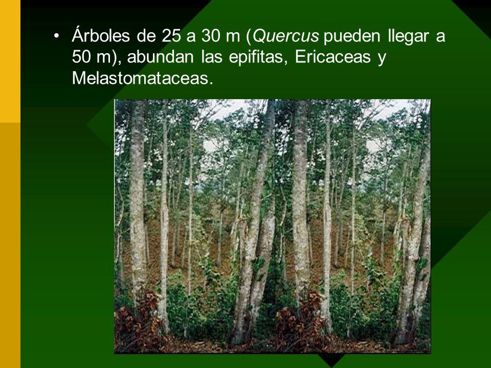 Árboles de 25 a 30 m (Quercus pueden llegar a 50 m), abundan las epifitas, Ericaceas y Melastomataceas.