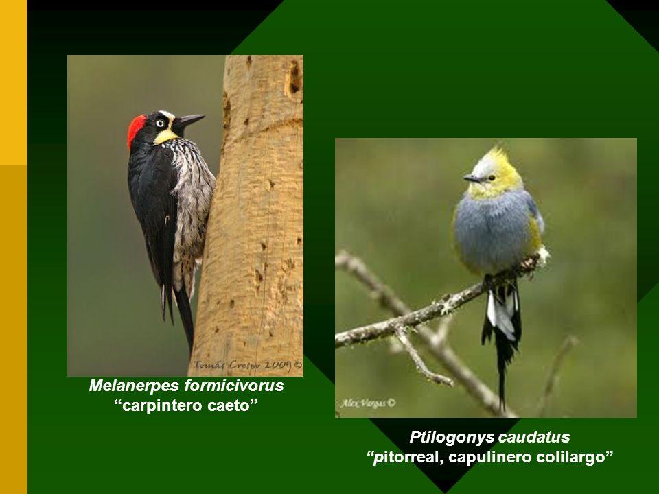 Ptilogonys caudatus pitorreal, capulinero colilargo Melanerpes formicivorus carpintero caeto
