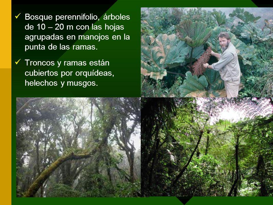 Bosque perennifolio, árboles de 10 – 20 m con las hojas agrupadas en manojos en la punta de las ramas. Troncos y ramas están cubiertos por orquídeas,