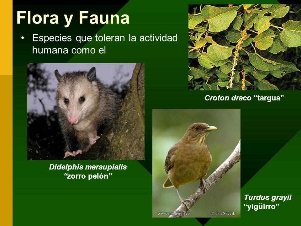 Especies que toleran la actividad humana como el Croton draco targua Didelphis marsupialiszorro pelón Flora y Fauna Turdus grayii yigüirro