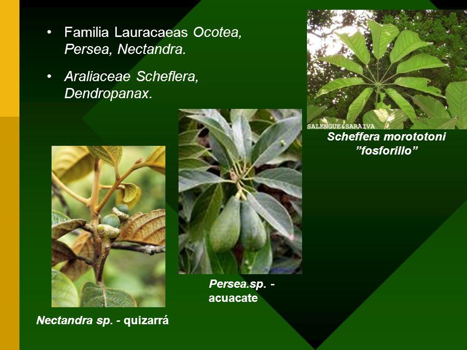 Familia Lauracaeas Ocotea, Persea, Nectandra. Araliaceae Scheflera, Dendropanax. Nectandra sp. - quizarráPersea.sp. - acuacate Scheffera morototoni fo