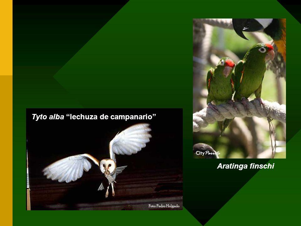 Aratinga finschi Tyto alba lechuza de campanario