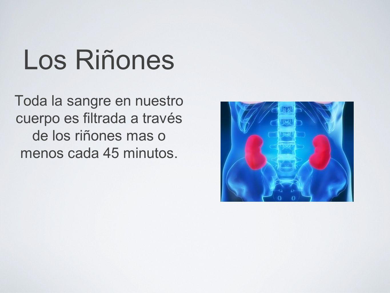 Los Riñones Esto puede causar piedras en el riñón, las cuales son causadas mayoritariamente por la deshidratación.