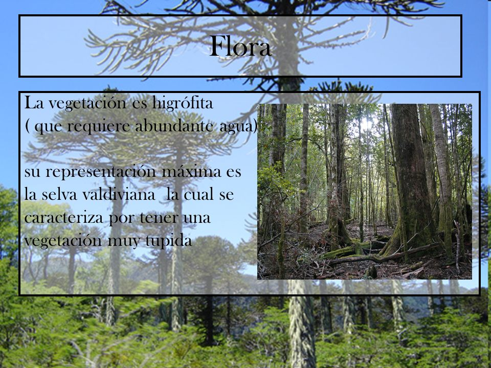 Flora La vegetación es higrófita ( que requiere abundante agua) su representación máxima es la selva valdiviana la cual se caracteriza por tener una v