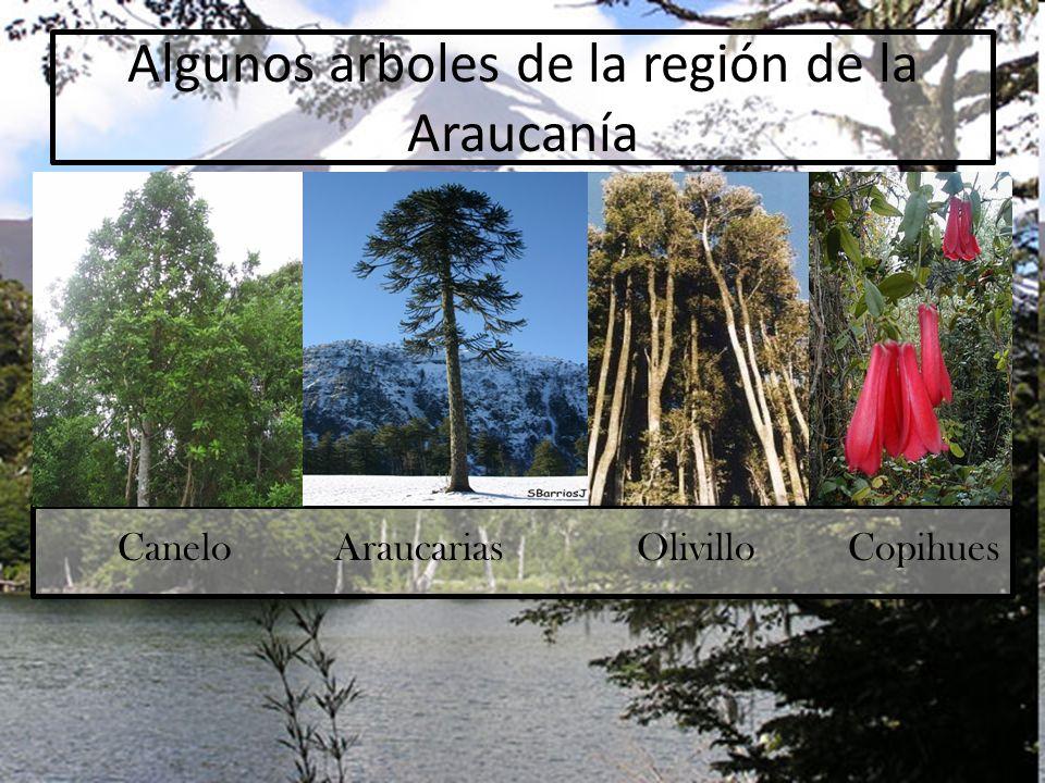 Algunos arboles de la región de la Araucanía Canelo Araucarias Olivillo Copihues