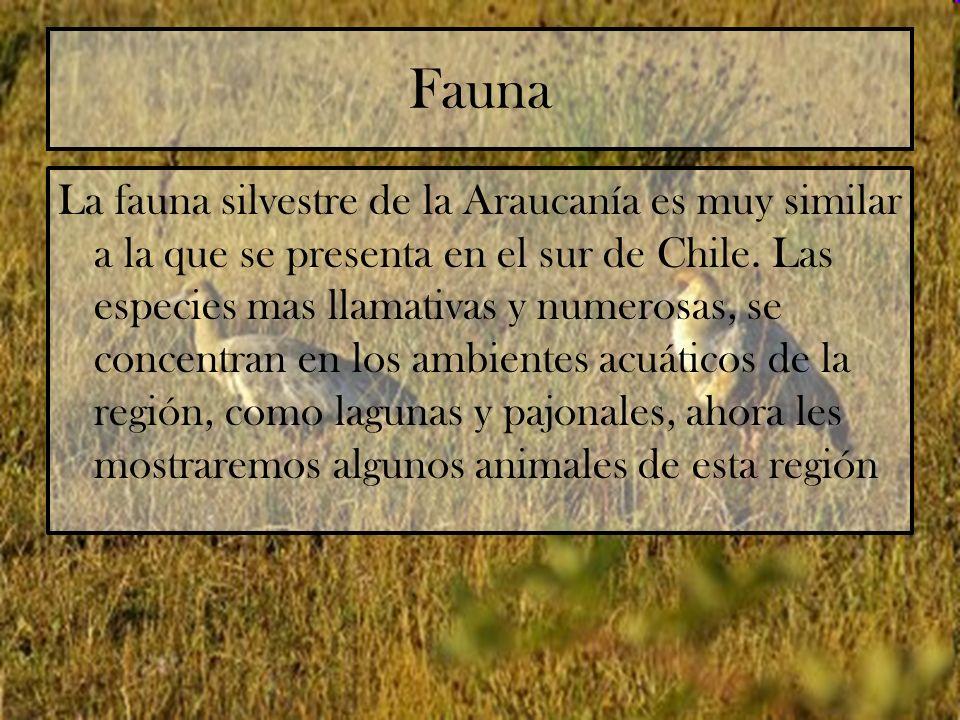 Fauna La fauna silvestre de la Araucanía es muy similar a la que se presenta en el sur de Chile. Las especies mas llamativas y numerosas, se concentra
