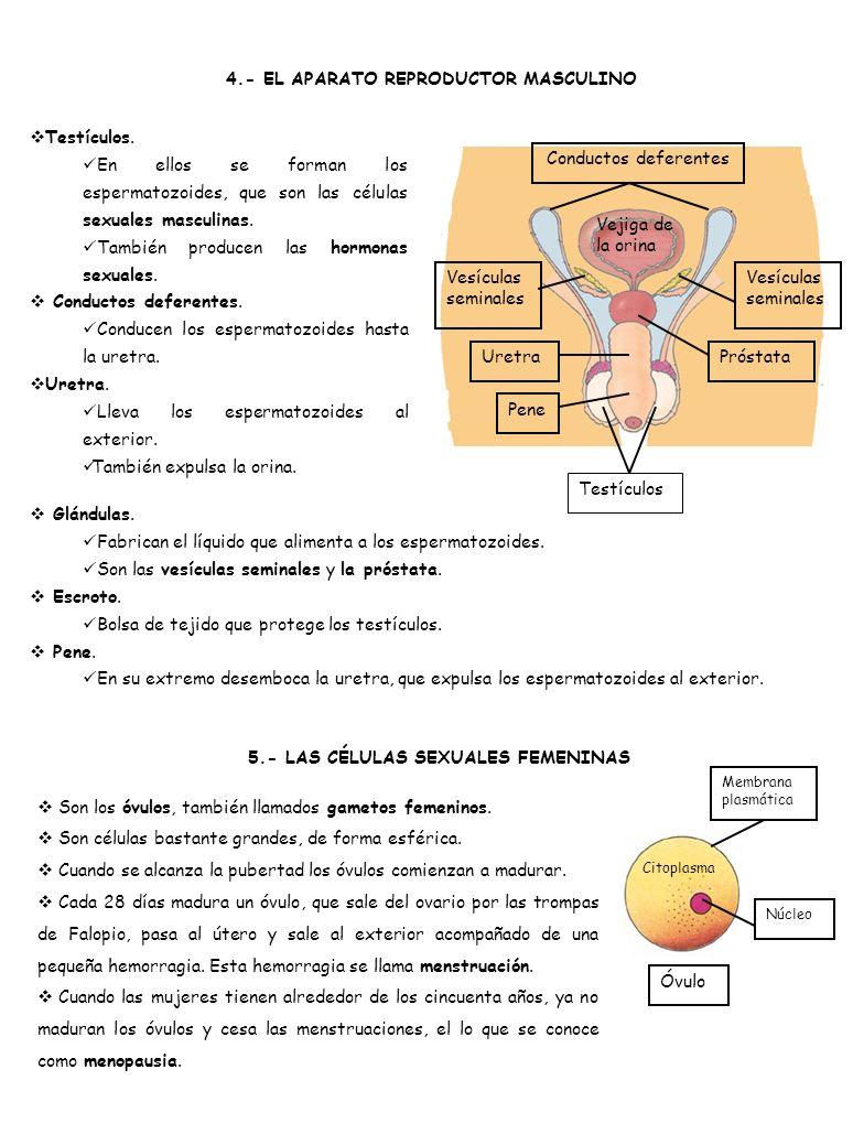4.- EL APARATO REPRODUCTOR MASCULINO Testículos. En ellos se forman los espermatozoides, que son las células sexuales masculinas. También producen las
